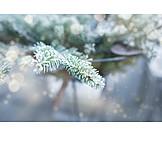Winter, Frost, Fir Branch