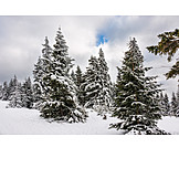 Winter, Conifers, Snowy
