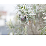 Winter, Frost, Olive Branch