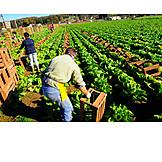 Landwirtschaft, Erntehelfer, Gemüseernte