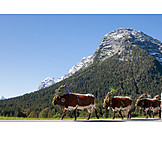 Cows, Upper Bavaria, Almabtrieb