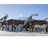 Cows, Almabtrieb, Fuikl