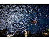 Water, Duck