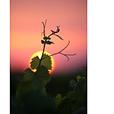 Sunset, Vine Leaves
