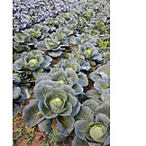 Agriculture, Cabbage, Cabbage Field