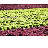 Landwirtschaft, Gemüse, Kopfsalat, Anbau