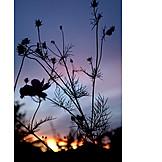 Sunset, Plant, Silhouette