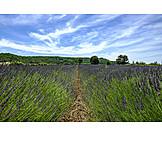 Landwirtschaft, Lavendel, Lavendelfeld, Buoux