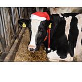 Cow, Santa Hat