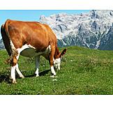 Cow, Pastures