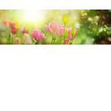 Sunlight, Spring, Tulips Bloom