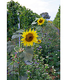 Agriculture, Sunflower