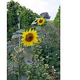 Landwirtschaft, Sonnenblume, Weinbergbegrünung
