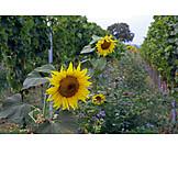 Sunflower, Vineyard, Greening