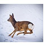 Winter, Deer, Doe