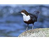 Water blackbird