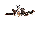Dogs, Purebred Dog
