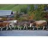 Cows, Almabtrieb