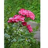 Rose, Ornamental Plant, Flower Garden