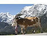 Cow, Almabtrieb, Fuikl