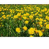 Meadow, Dandelion