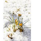 Snow, Spring, Crocuses