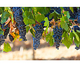 Agriculture, Grapes, Winemaking