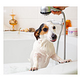Dog, Jack Russell Terrier, Shower
