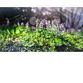 Sunlight, Spring, Corydalis Cava