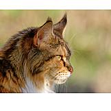 Cat, Maine Coon Cat