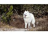 Dog, Purebred Dog, Samojede