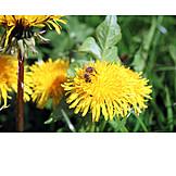 Bee, Dandelion, Pollinate