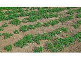 Strawberry field, Strawbeery plant