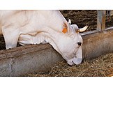 Cow, Feeding, Cow Shed