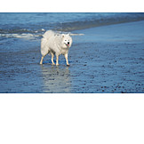 Dog, Samojede