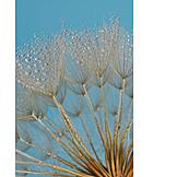 Dandelion, Seed, Dewdrop