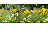 Meadow, Tansy, Wild Flower