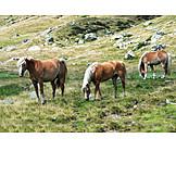 Grazing, Wild Horses