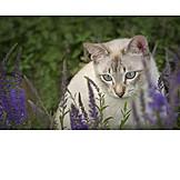 Cat, Thai Cat
