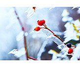 Winter, Rose Hips, Frost