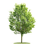 Tree, Tree, Poplar Tree