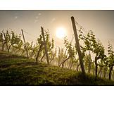 Haze, Vineyard, Morning light