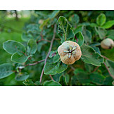 Quince, Quince tree