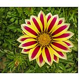 Flower, Petal, Two Color