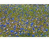 Cornflower, Cornflower field