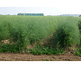 Agriculture, Asparagus, Outbuilding